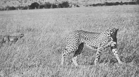 Cheetahs photo image