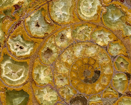 Ammonite photo image
