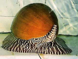 Marine Snail photo image